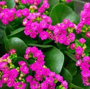 Kalanchoe Plant with Purple Flowers